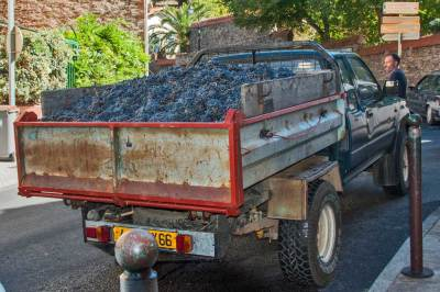 France - Collioure Wine Harvest.