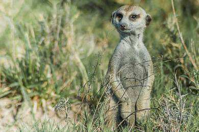 Khomas Highlands-Meerkat.