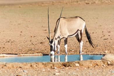 Namib-Oryx.