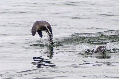 Walvis Bay-Cape fur seal.