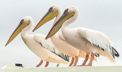 White pelicans invite themselves to our Walvisi Bay Cruise.