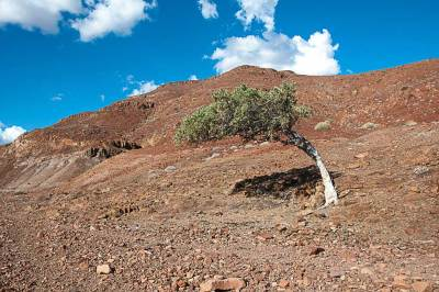 Damaraland-shepherd tree.