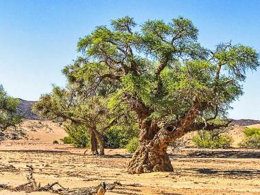 Damaraland-camel thorn.