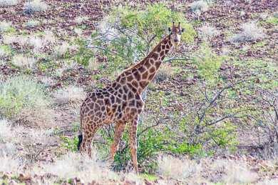 Damaraland-giraffe