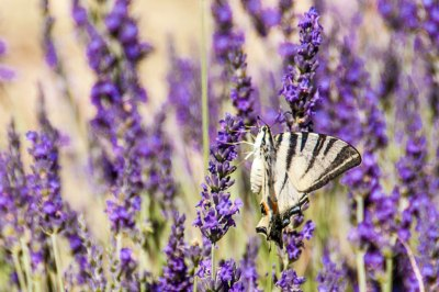 Lavender and butterfly.