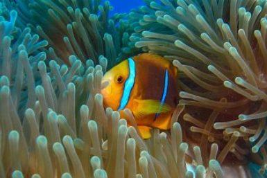 Bora-Clownfish.