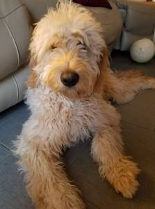 Golden Doodle Puppies – Life in the Kingdom