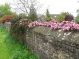 Clematis and other flowers on a wall in Gayton