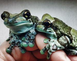 adult amazon milk frogs on hand