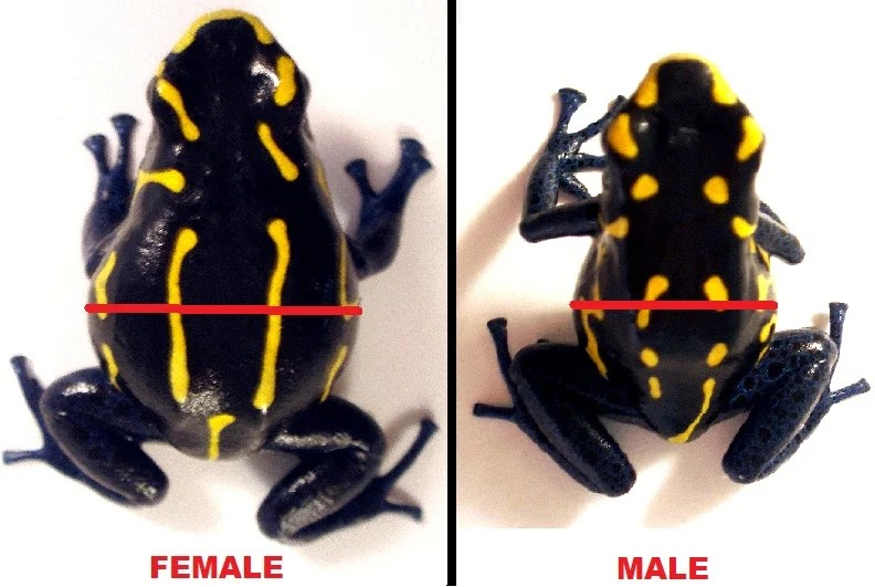 How to tell sex of frogs