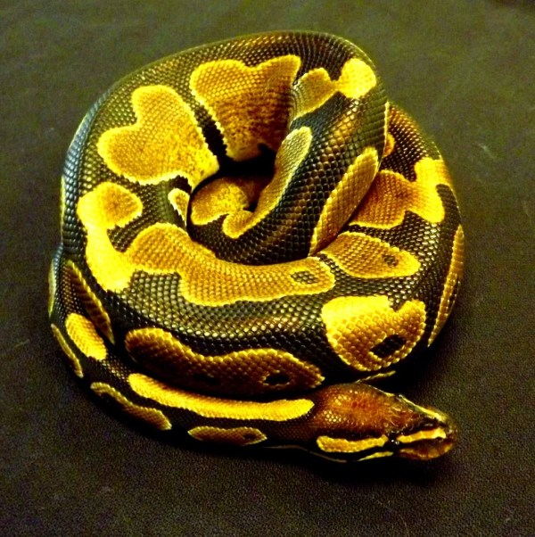 Ball Python Care Sheet - Josh's Frogs How-To Guides