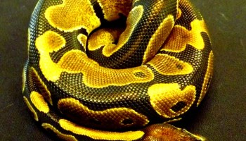 Caring for King snakes and Milk snakes - Josh's Frogs How-To