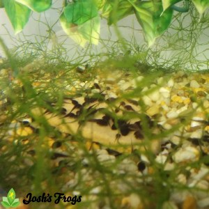 yellow spotted climbing toad captive bred for sale josh's frogs tank 2