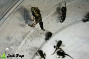 yellow spotted climbing toad pedostibes hosii captive bred for sale joshs frogs morphing toadlets