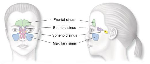 Front and Profile Sinuses