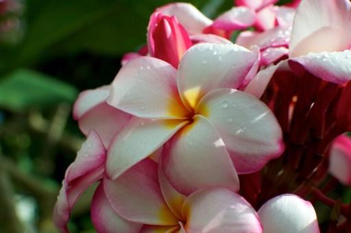 Plumeria (Pink)