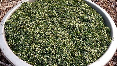 Picture shouwing the drying process of atama leaf. If after cutting your atama leaf, and it happens to be too much, you can spread that in a tray and dry under the sun, then package in a polythene bag; it can be used to prepare dried atama leaf soup next time.