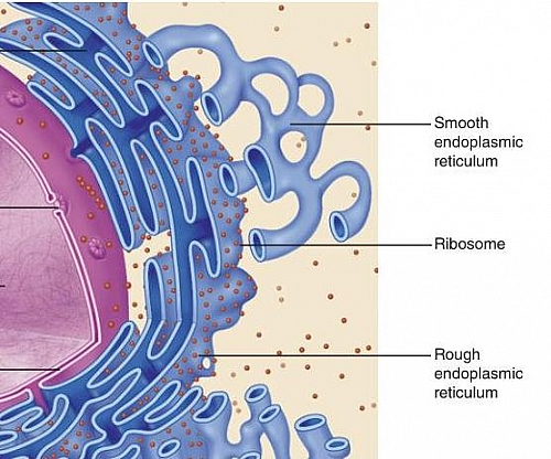 Diagram showing free Ribosomes scattered in the cytosol of a cell