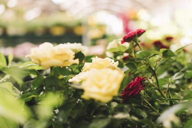 fleurs (roses) dans jardin