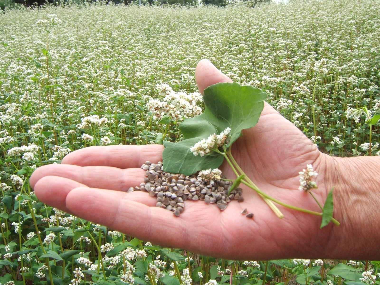 """Résultat de recherche d'images pour """"photos de champs de sarrasin en fleur"""""""