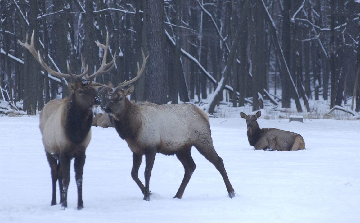 4 New Elk Could Join Busse Woods Herd By Year End | Journal & Topics Media  Group