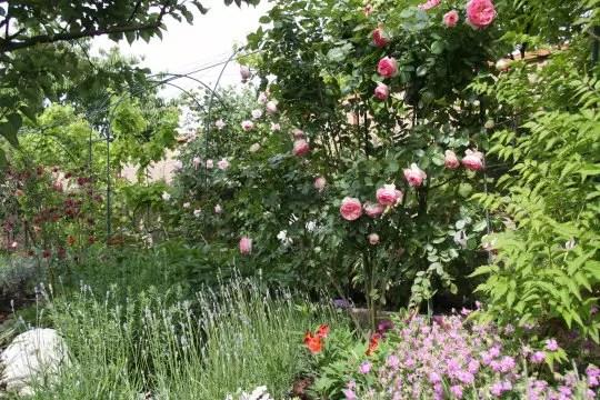 rosier grimpant pierre de ronsard