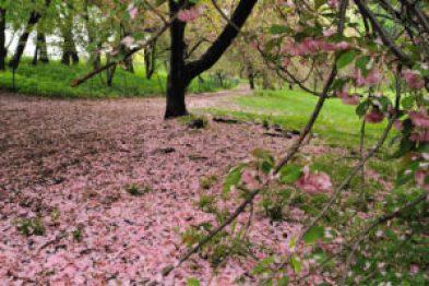 Fleurs de cerisier, sakura, fugacité des choses