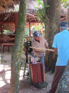 processing sugar canes