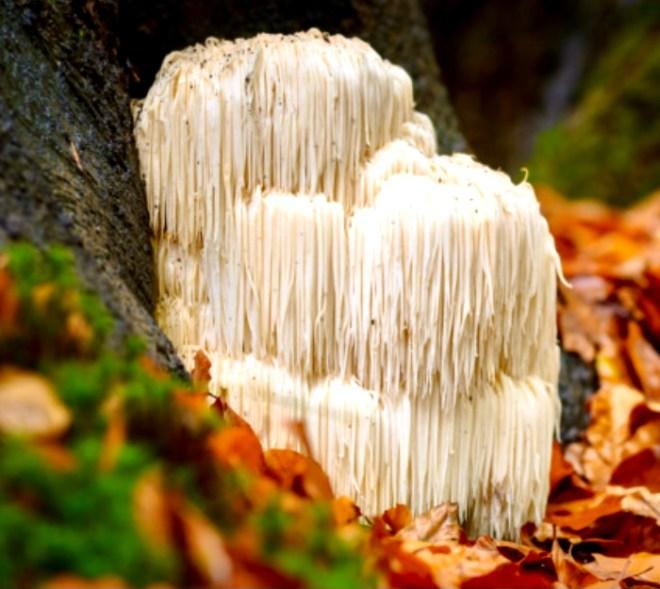 Seven Superfood Mushrooms lions mane
