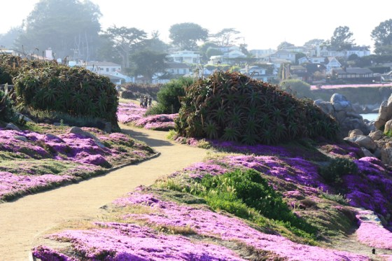 Gorgeous wildflowers in Pacific Grove
