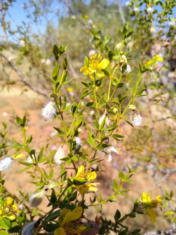 Creosote Bush Flower Essence