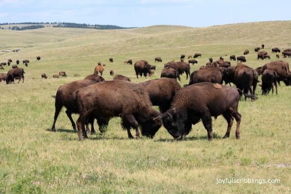 #buffalo