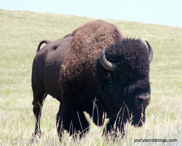 #lone buffalo