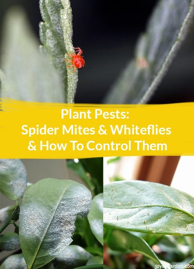 Plant Pests Spider Mites Amp Whiteflies Amp How To Control