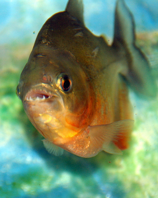 Photo of Piranha showing his teeth