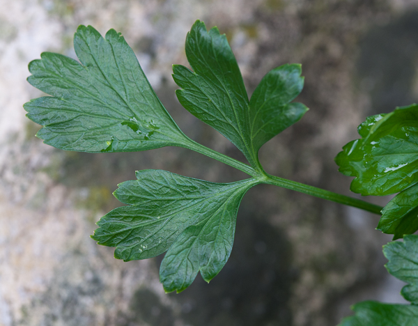 parsley from my garden