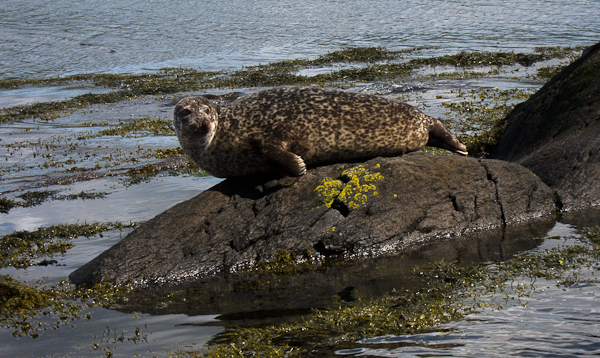 Seal on rock, Boat ride to Garinish Island
