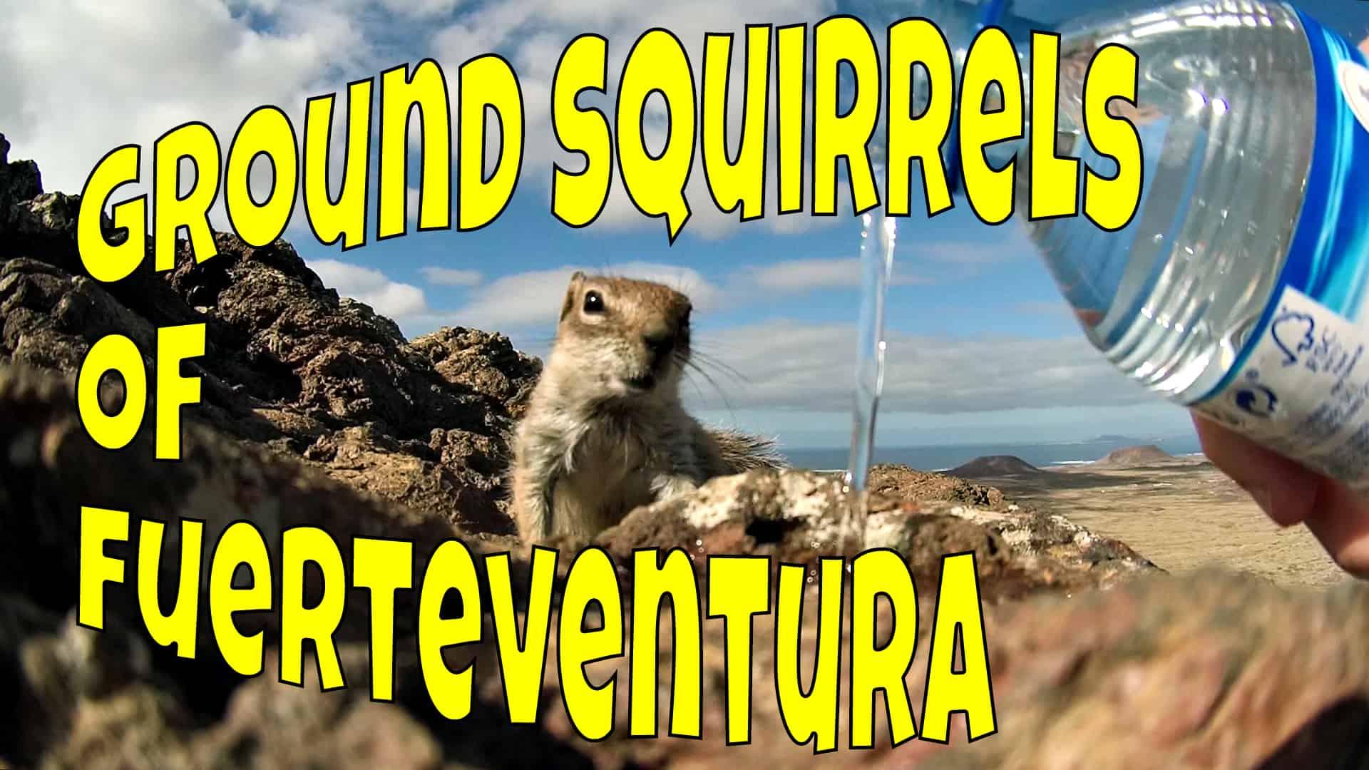Fuerteventura Ground Squirrels