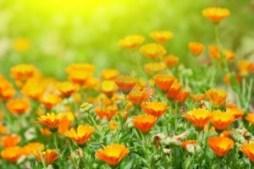 Flores de caléndulas