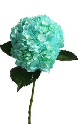 Hydrangea Tinted Blue Turquoise Wholesale Flowers  30 stems Bulk     Blue Turquoise Hydrangea flower