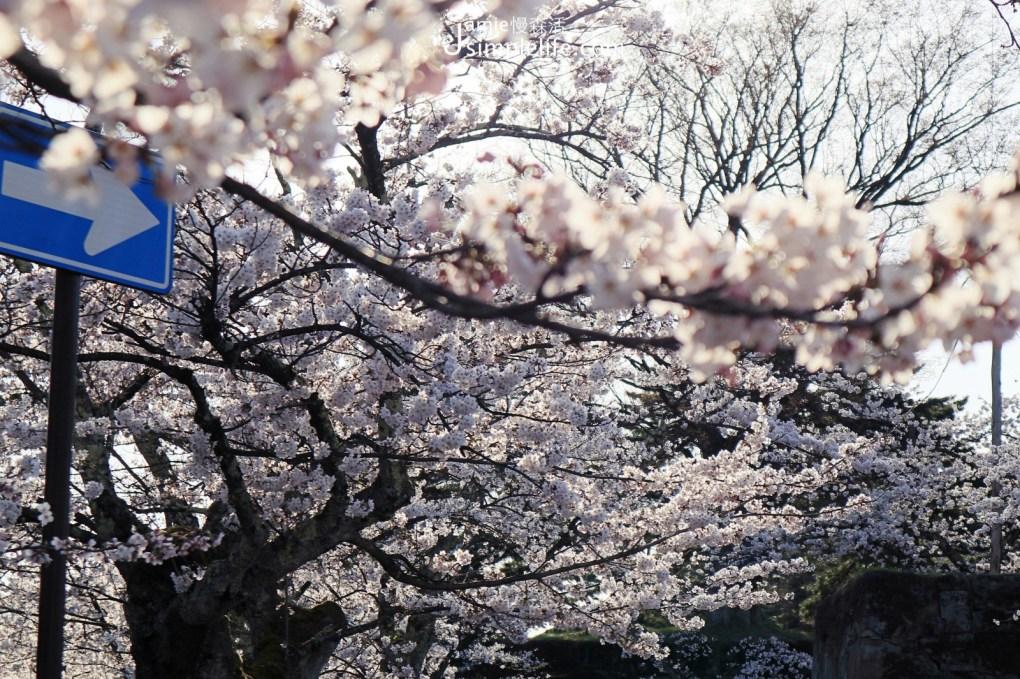 前往日本福島「會津若松城」,路上開滿櫻花