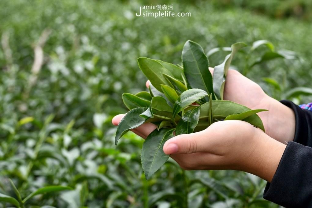 台東大峰有機茶園採茶