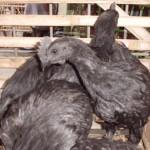 Cara Mudah Mengetahui Ciri Ayam Cemani Asli