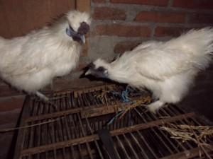 Ayam-Kapas-Indukan-5.JPG