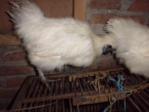 Ayam-Kapas-Indukan-9.JPG