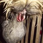 Mari Mengenal Ayam Polan atau Ayam Mahkota
