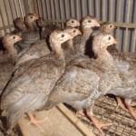 Ayam Mutiara yang Unik di Gemari Berbagai Kalangan