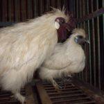 Mari Mengenal Ayam Kapas Lebih Dekat