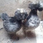 Ayam Polan Umur Dua Bulan Siap Kirim Ke Tanjung Karang di Bandar Lampung