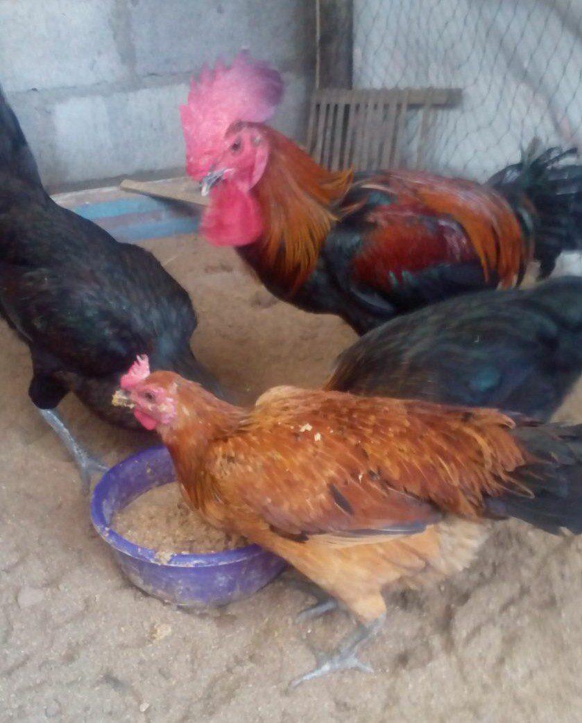 Foto Ayam Pelung Dewasa